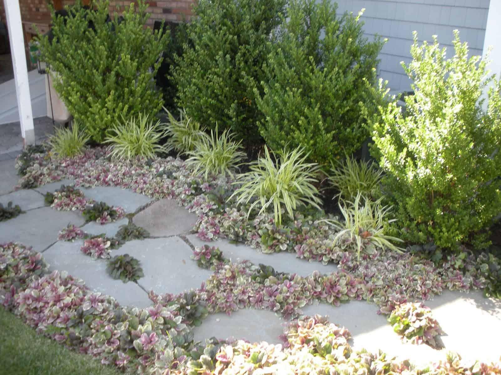 Landscape Plantings - Ajuga ground cover with Vareigated Liriope and Ilex Steeds - Massapequa, Long Island NY