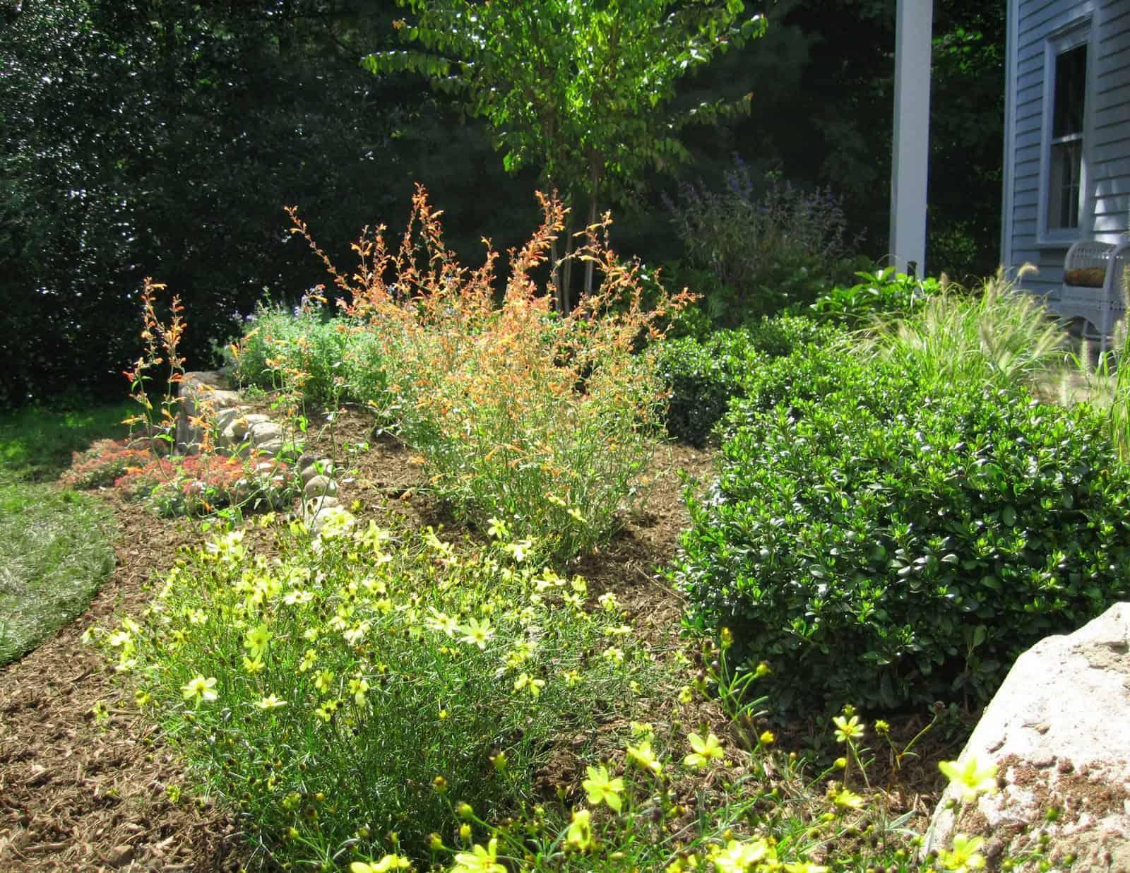 Landscape Plantings - Foreground - Coreopsis Moonbeam, Background - Amanogawa Cherry, and mixed perennials - Brookville, Long Island NY