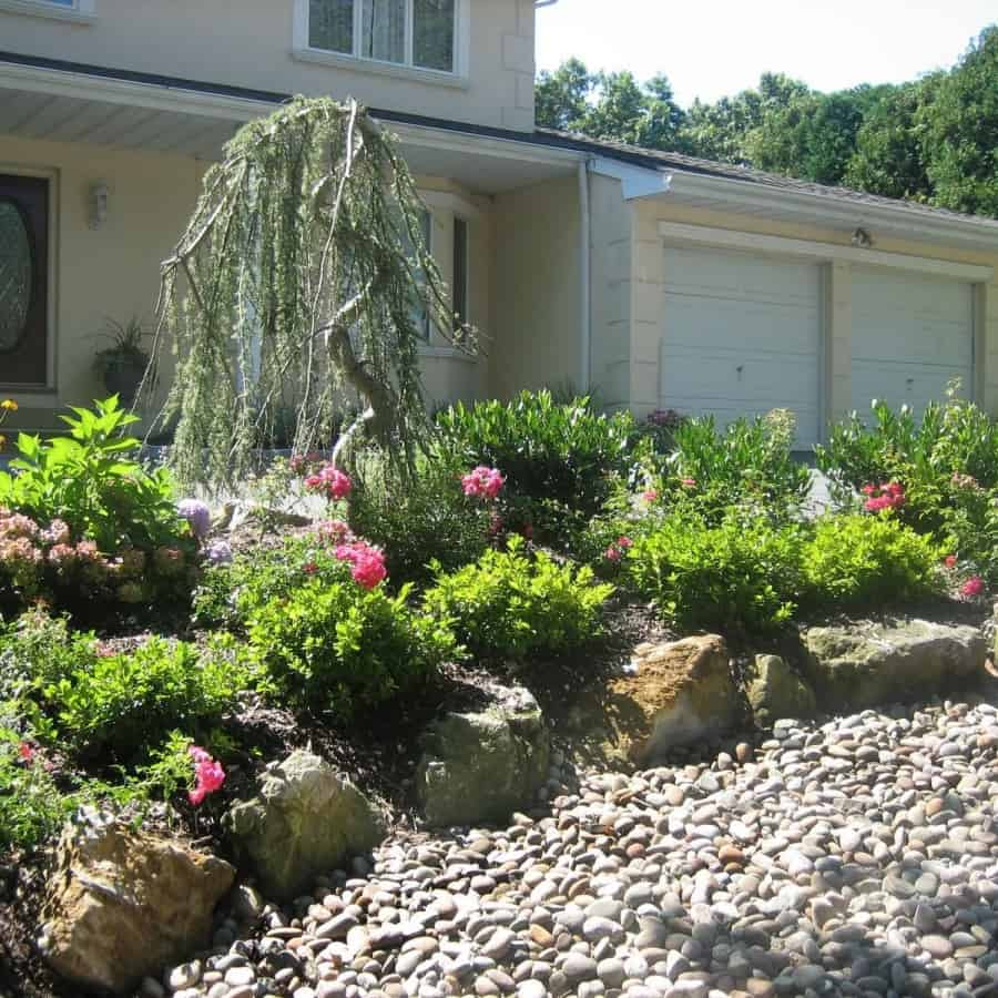Landscape Plantings - Weeping Blue Atlas Cedar, Cherrylaurel Otto Luyken, and Pink Carpet Rose - Dix Hills, Long Island NY