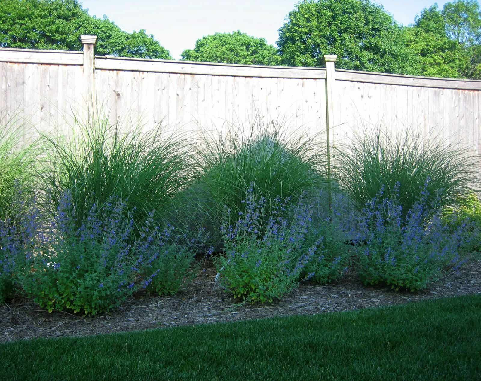 Landscape Plantings - Foreground - Nepeta Walkers Low, Background - Maiden Grass - Dix Hills, Long Island NY